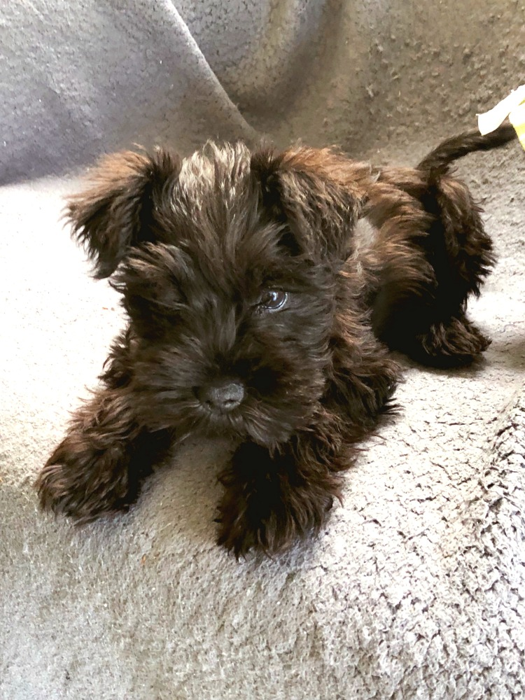 Dolly the miniature schnauzer