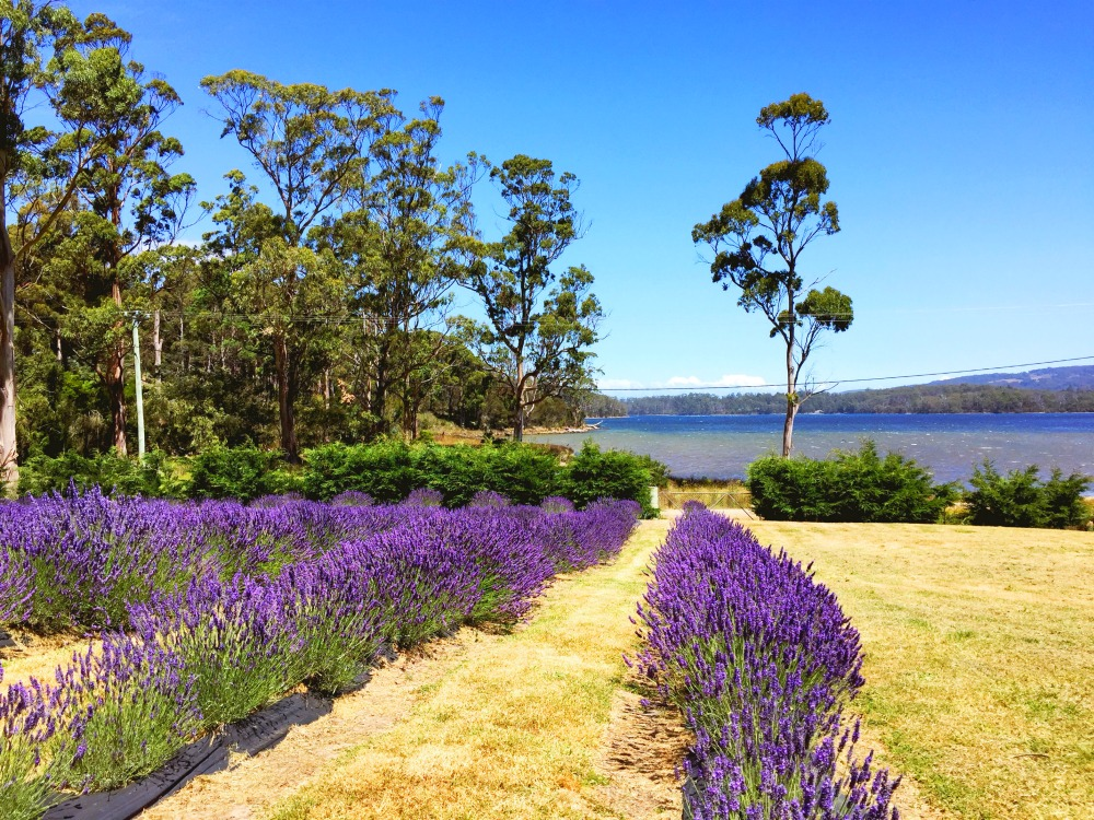 Touring with Let's Show You Tasmania Port Arthur Lavender fields