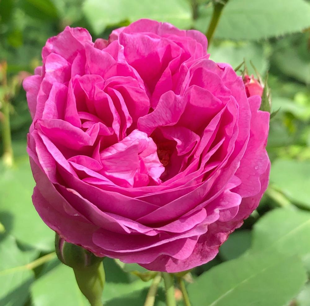 thoresby hall rose garden