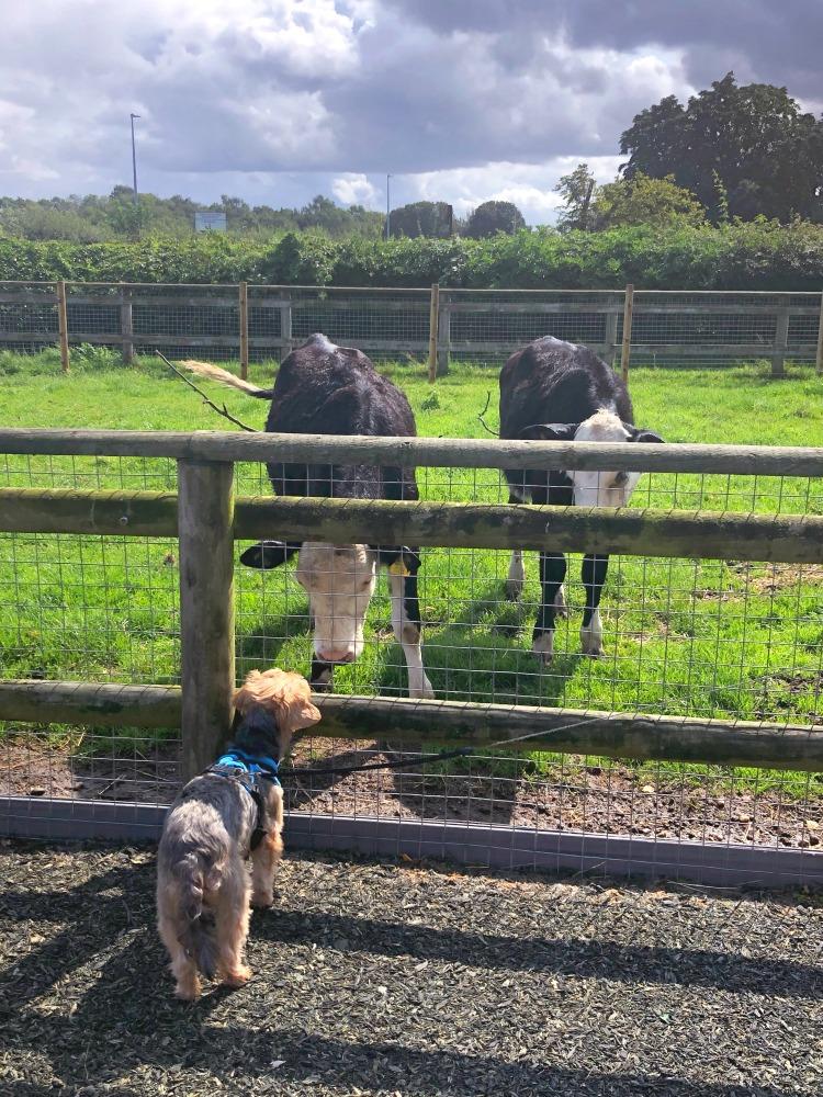 daisy made farm cows
