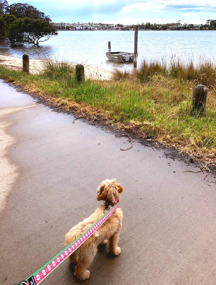 Merimbula boardwalk dog on leash