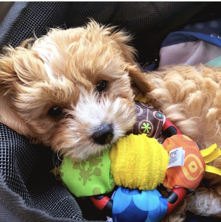 puppy essentials lamaze toys