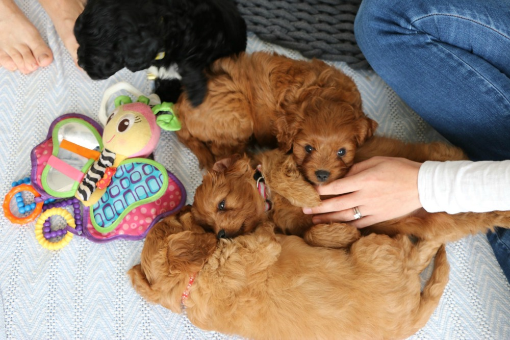 Hidden Valley Cavoodles puppies
