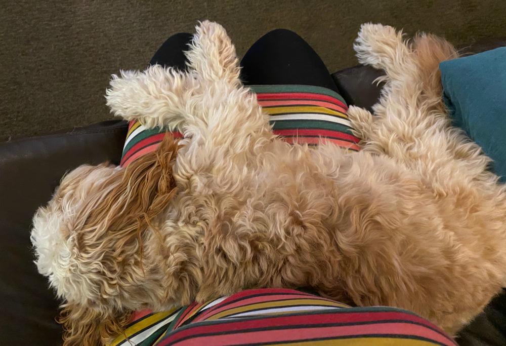 dog sleeping on lap