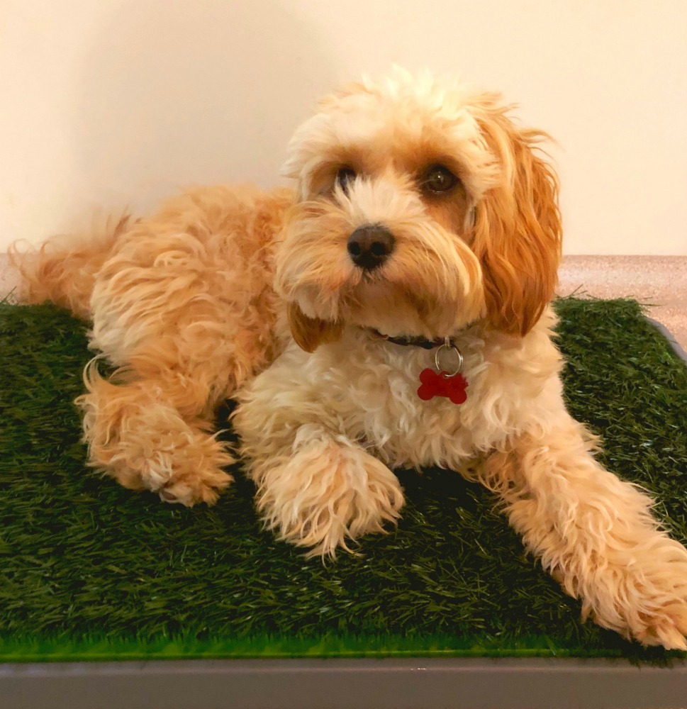 puppy basics fake grass dog toilet