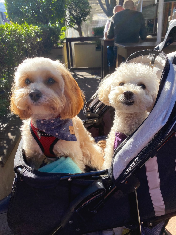 two oodles in a pram