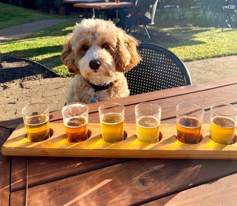 Dog looking at Matilda Bay Brewing beer paddle