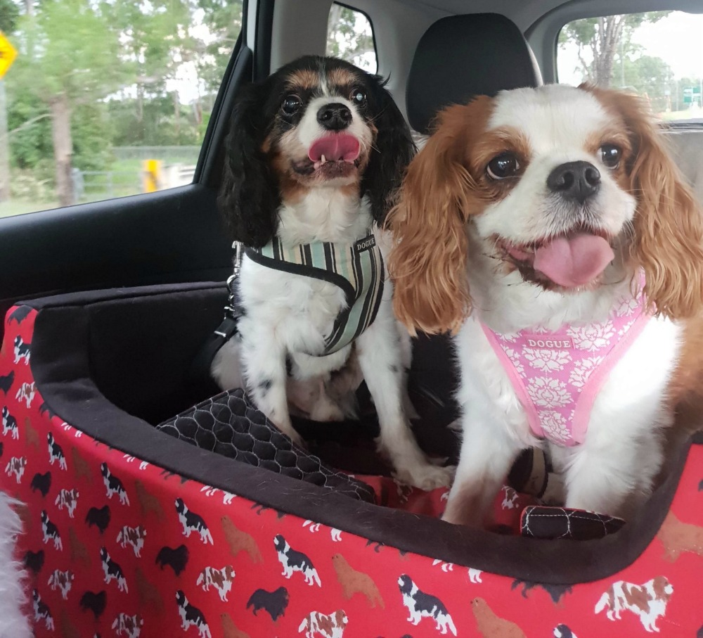 two cavaliers in I can see dog car seat