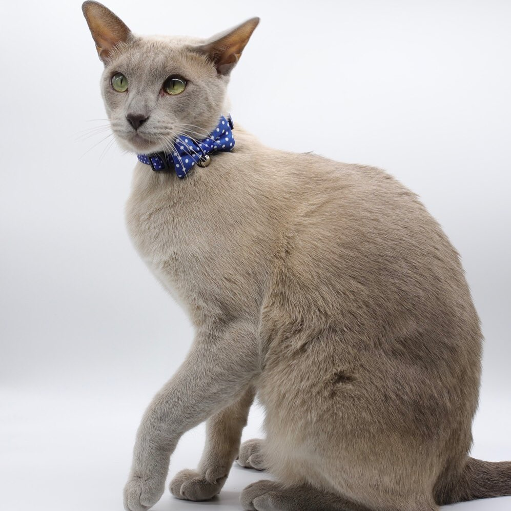 cat wearing bow tie collar