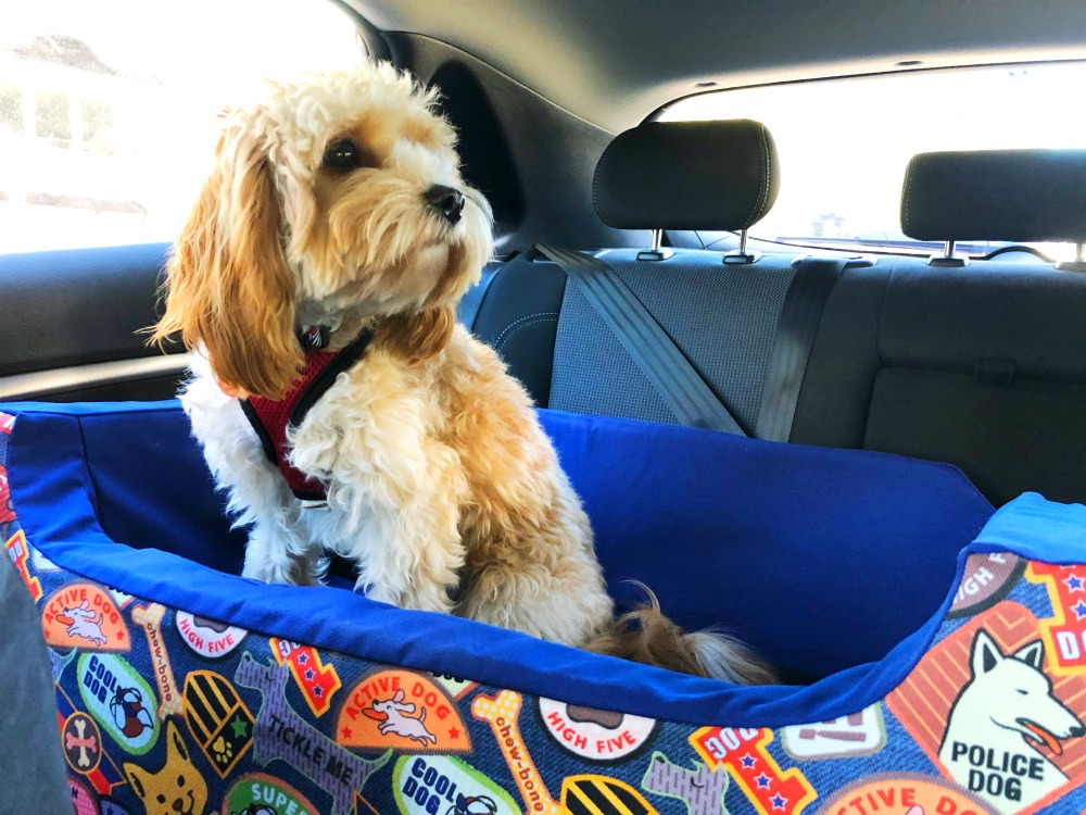cavoodle sitting in I can see dog car seat