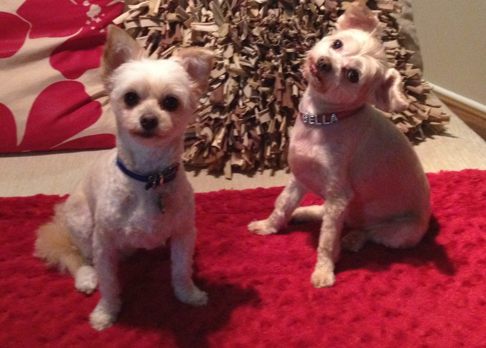two chihuahua cross poodles