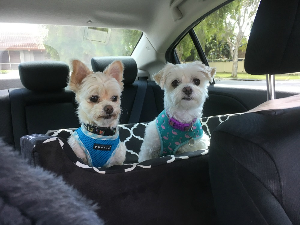 two dogs sitting in I can See Dog Car Seat