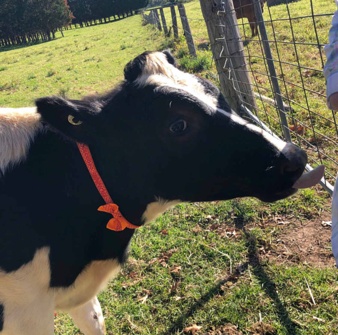 cow wearing red collar and bow tie