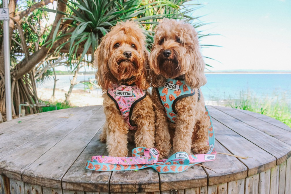 two cavoodles sitting on a table