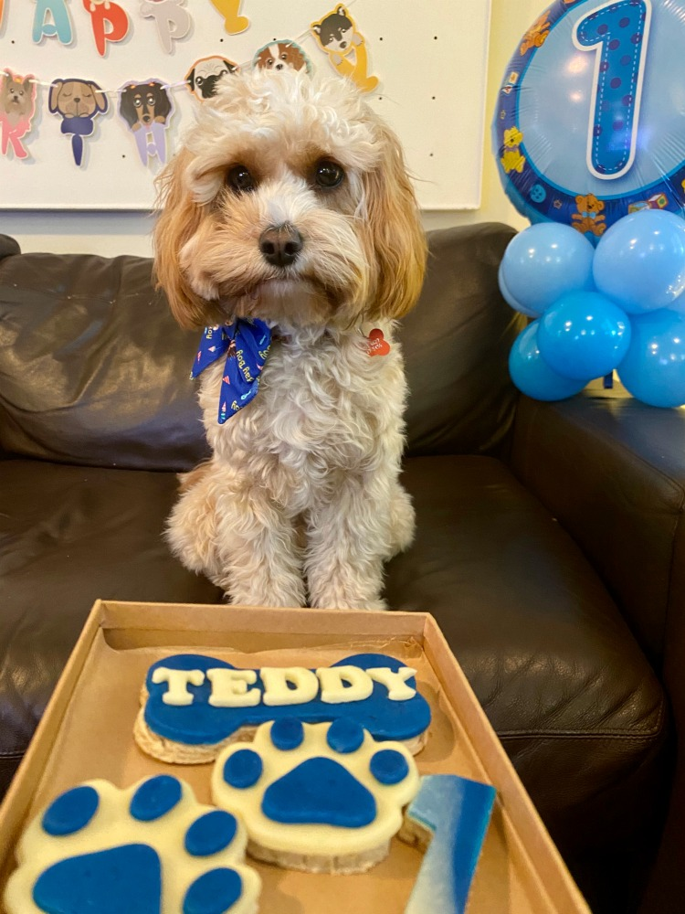 cavoodle looking at his birthday biscuits