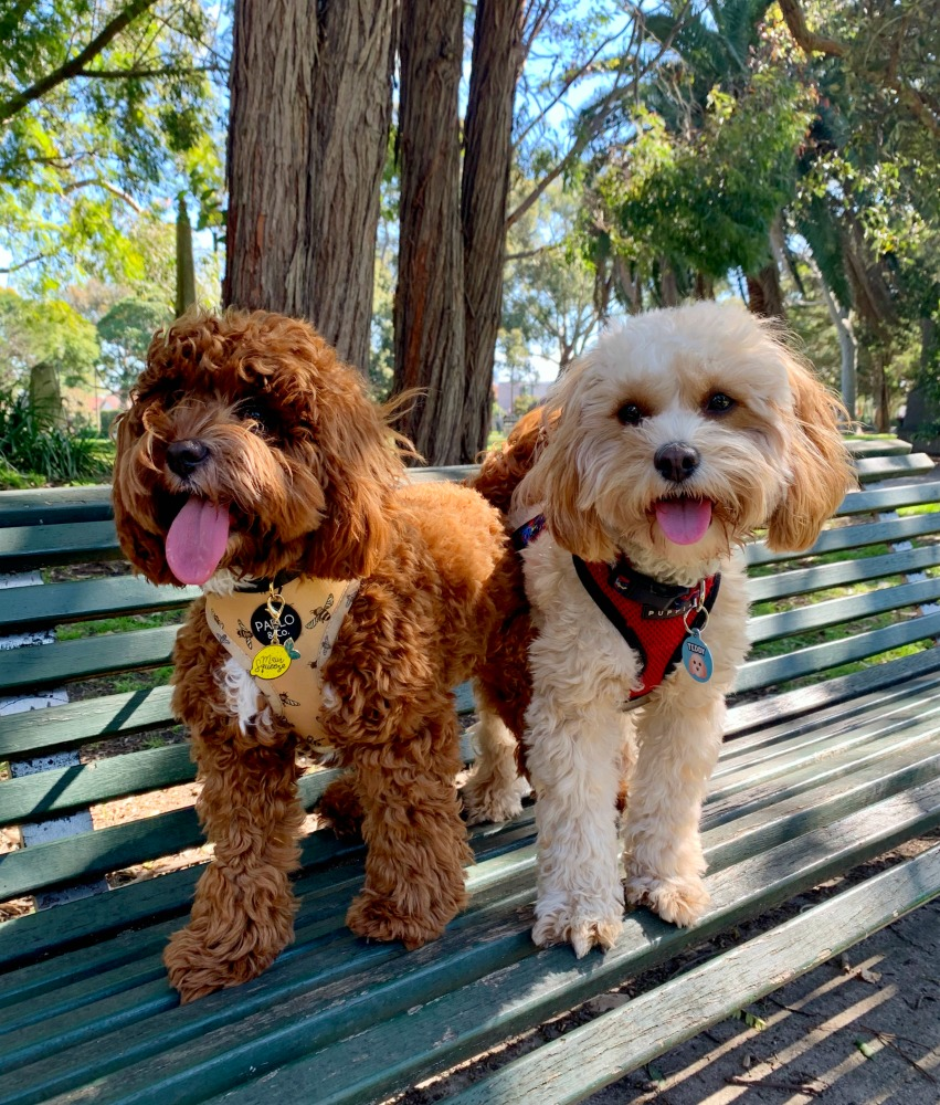 two cavoodles sitting on a bench