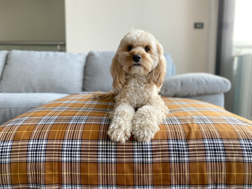 a dog lying on a bed looking at the camera