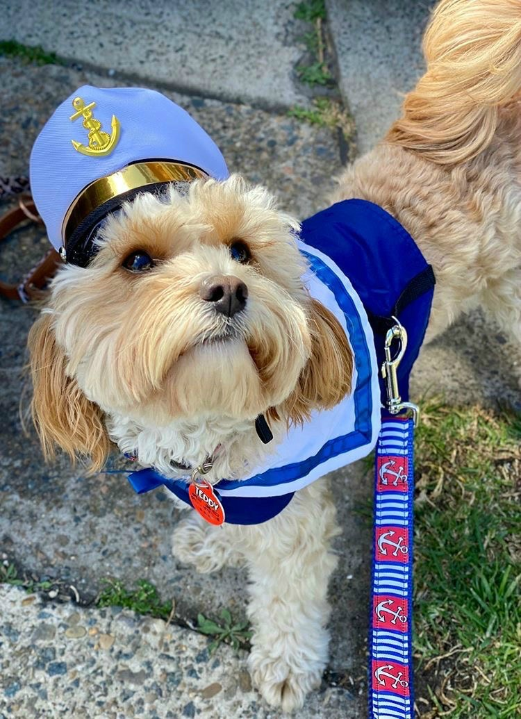 cavoodle wearing captain costume