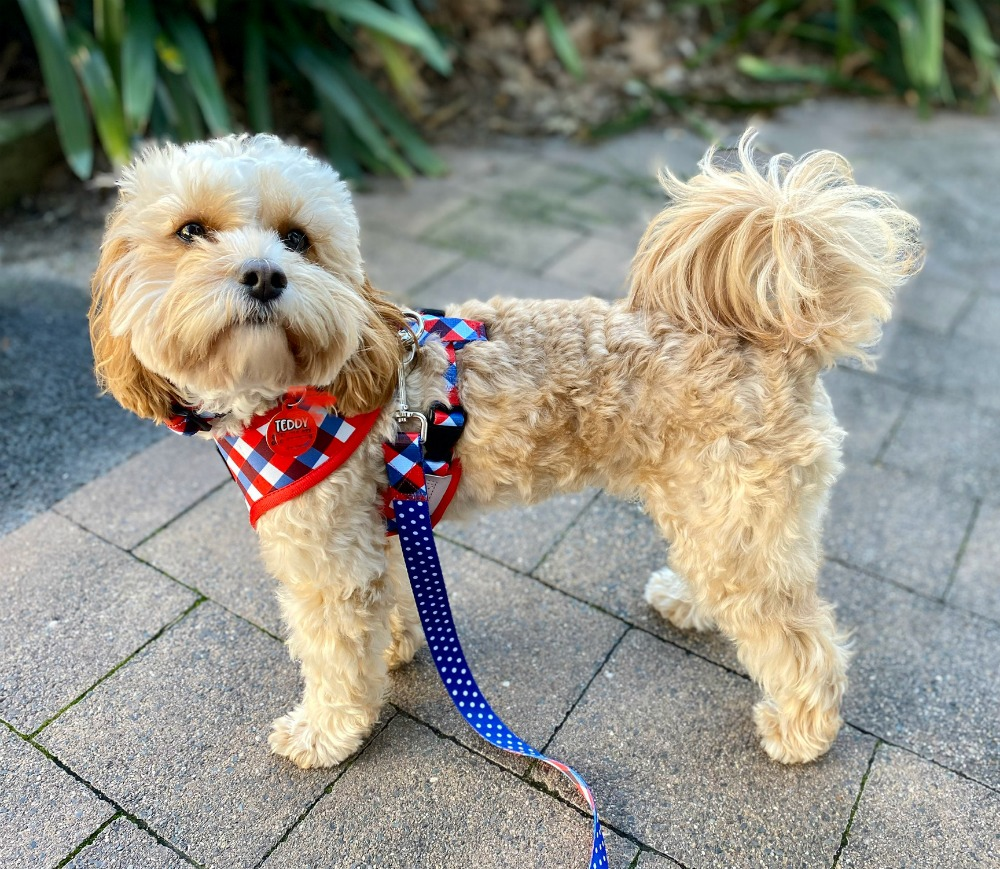cavoodle wearing soapy moose trendsetter harness and lead