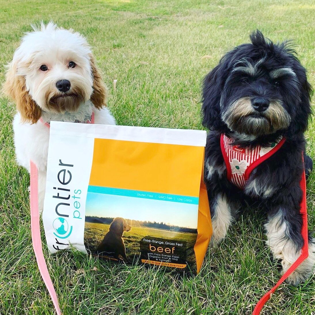 a white and black and tan cavoodle sitting next to a bag of Frontier Pets food