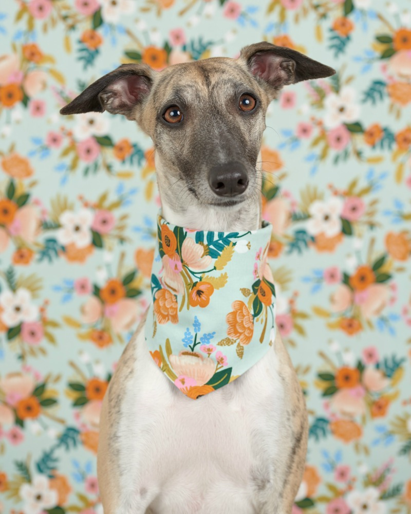 picture of whippet on floral background