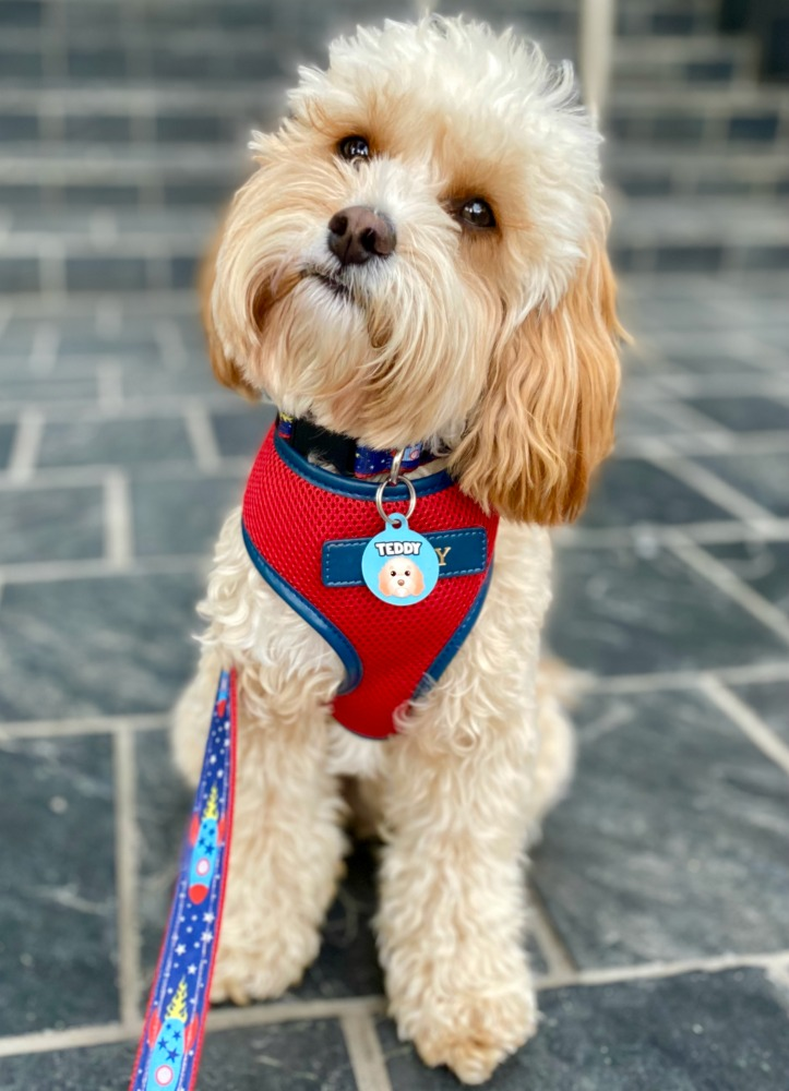 cavoodle with red harness wearing zoopeez name tag
