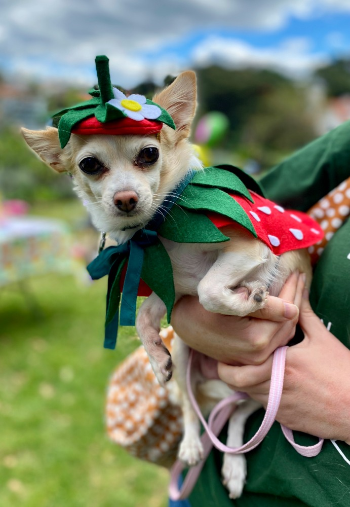 Chihuahua wearing strawberry