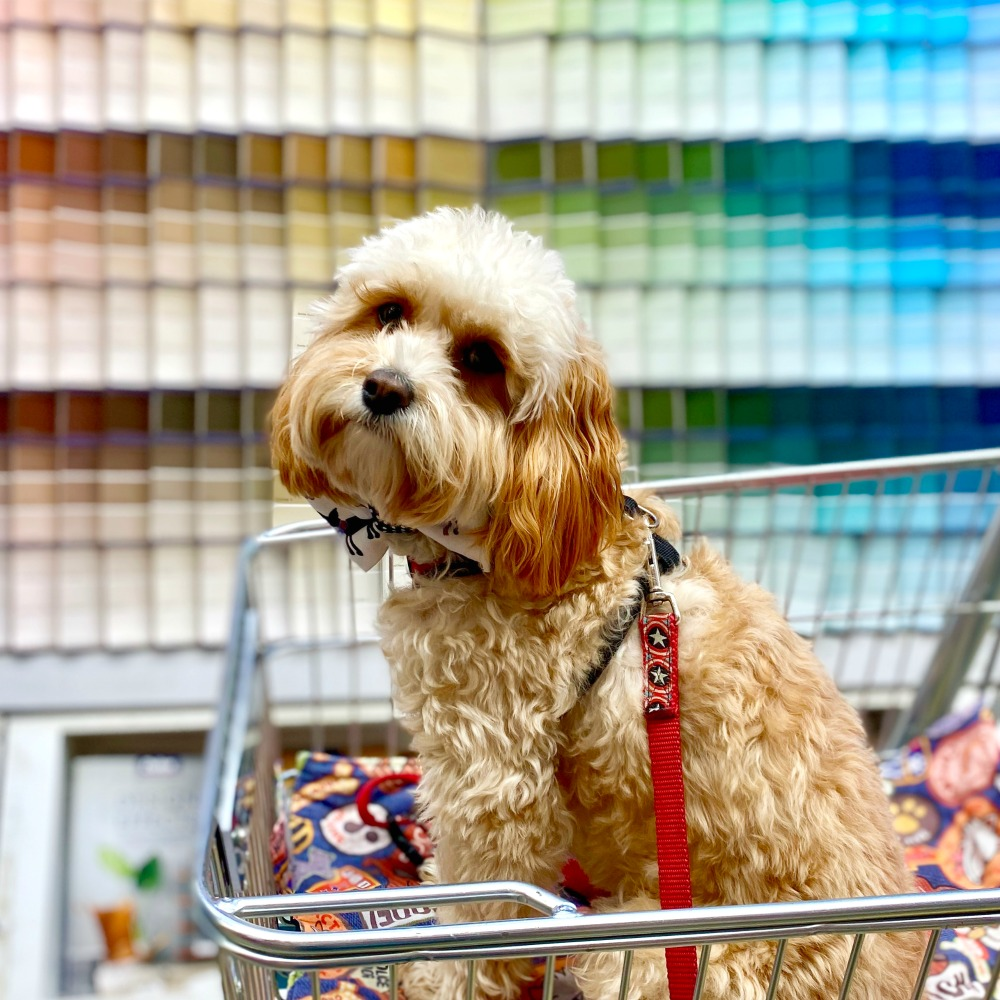 dog sitting in Bunnings trolley with paint charts in background