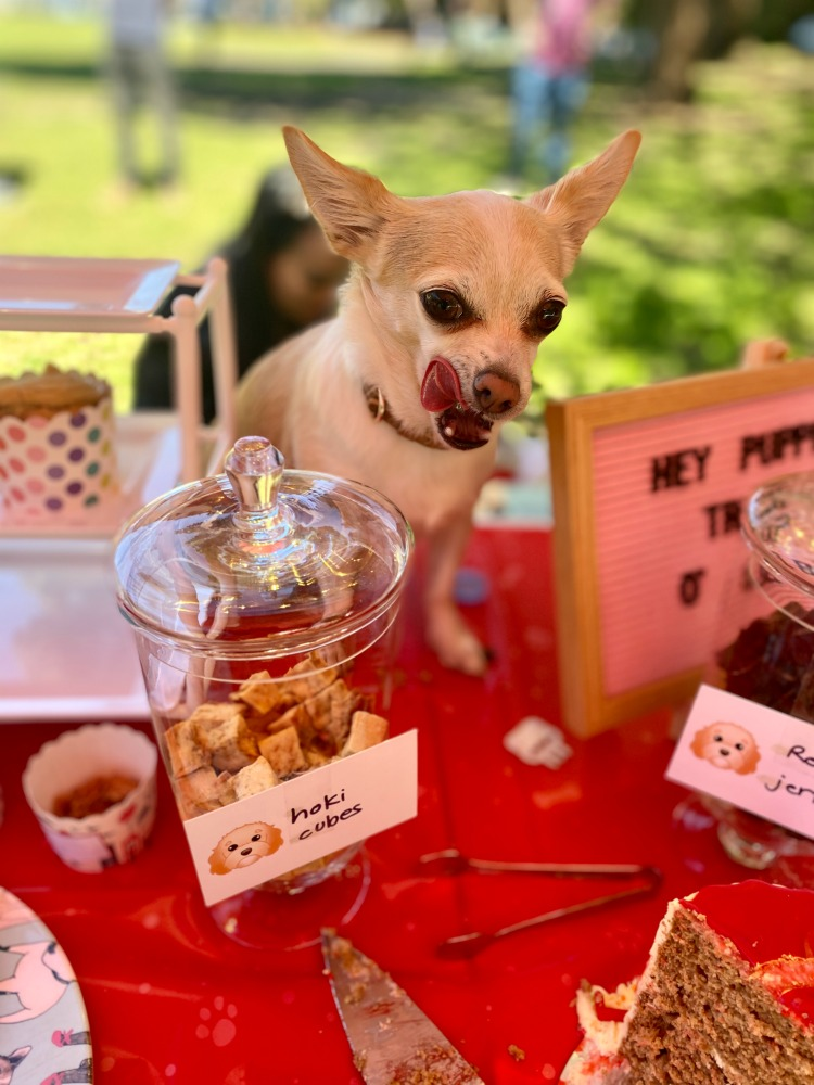 chihuahua sitting next to dog treats at a dog party