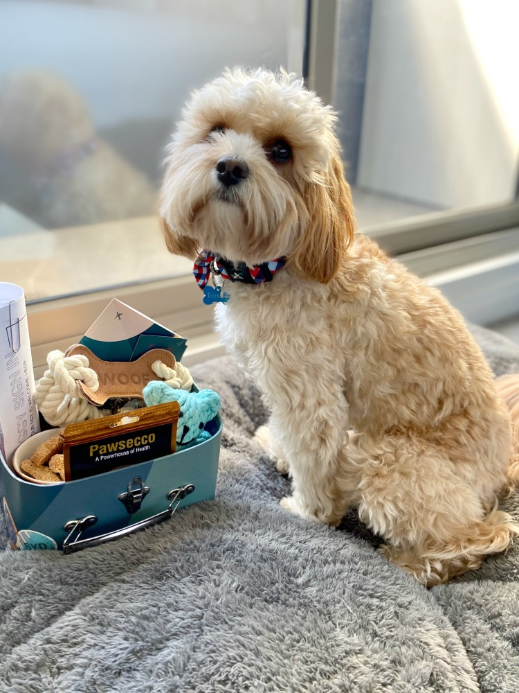 dog looking at small suitcase of treats