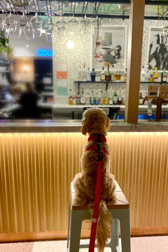 cavoodle sitting on a bar stool looking at the bar