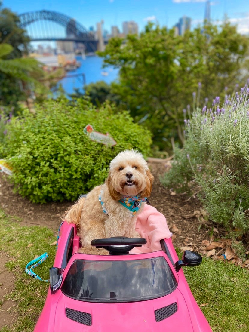 cavoodle sitting in a toy pink car