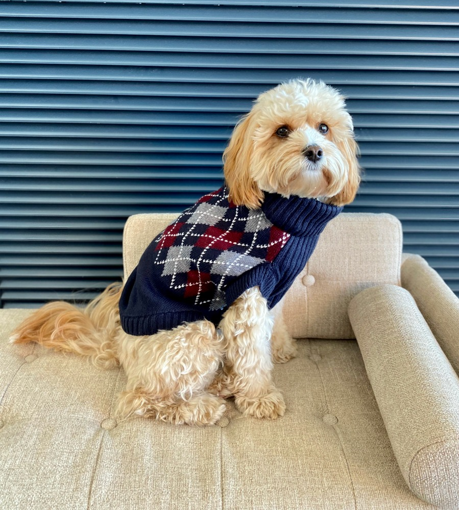 dog in argyle sweater sitting on a sofa