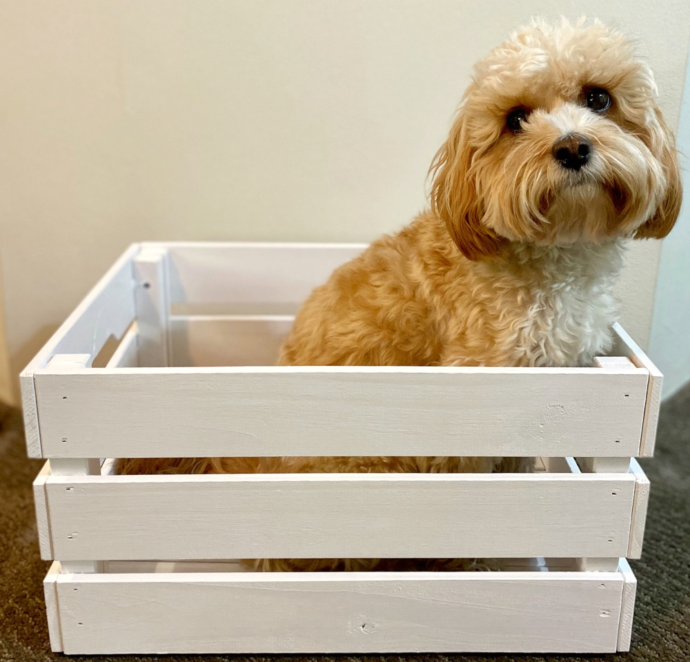 cavoodle sitting in white wooden box