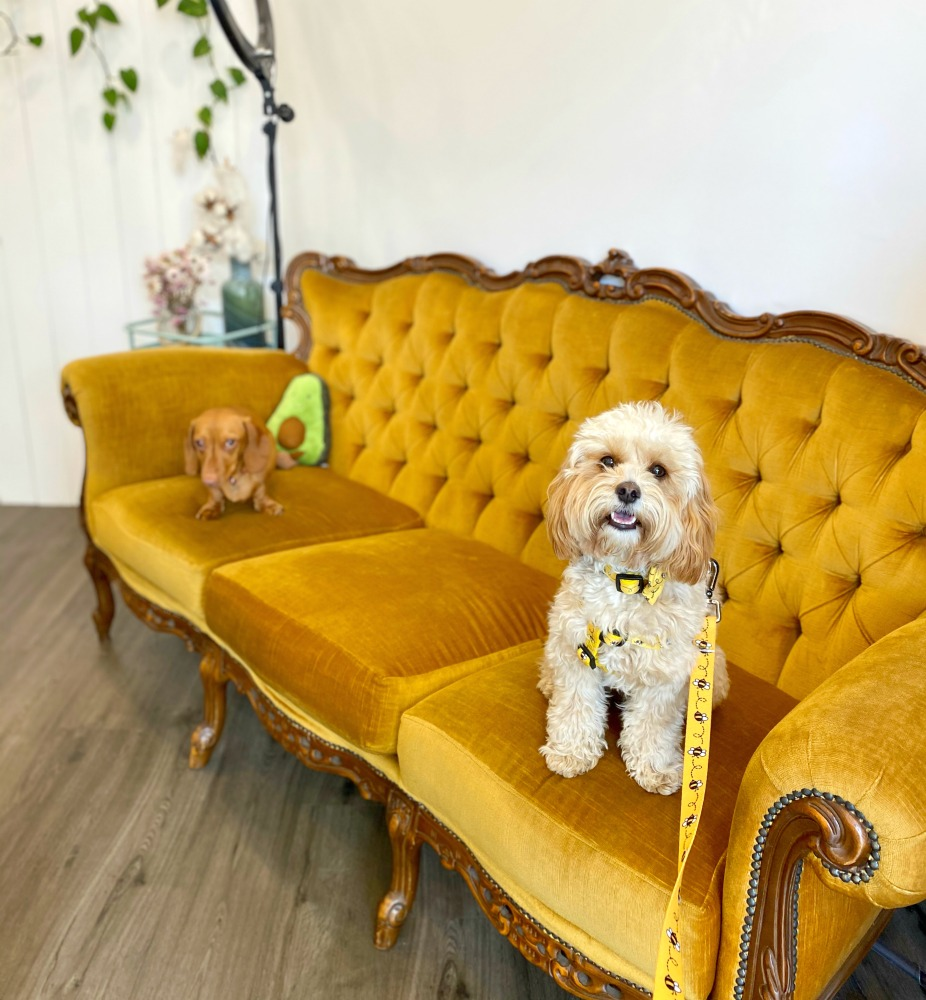 a dashshund and a cavoodle sitting on a velvet yellow sofa