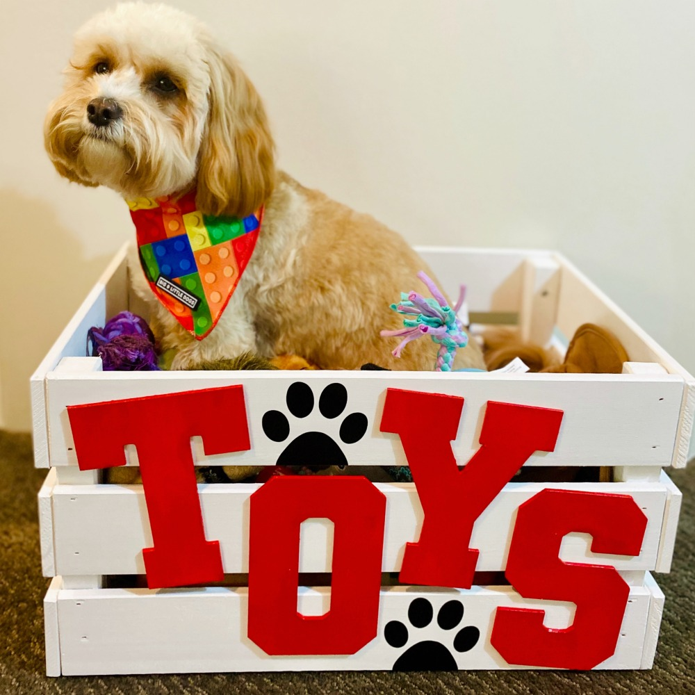 cavoodle sitting in toy box with toys
