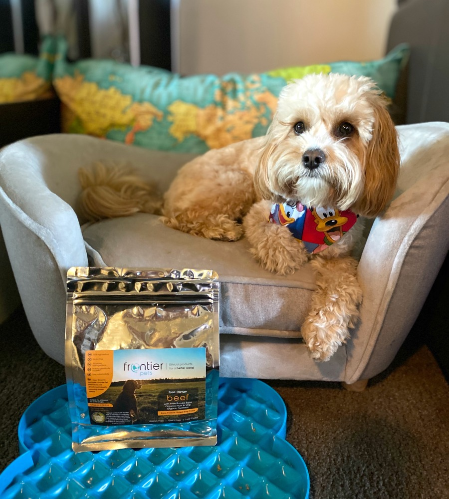 cavoodle sitting on pet sofa with packet of frontier pet food