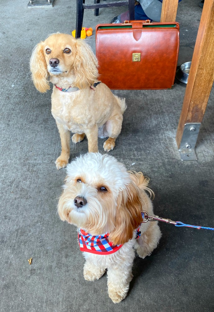 two cavoodles sitting nicely in a pub
