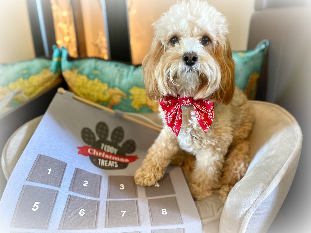 cavoodle sitting with paw on advent calendar