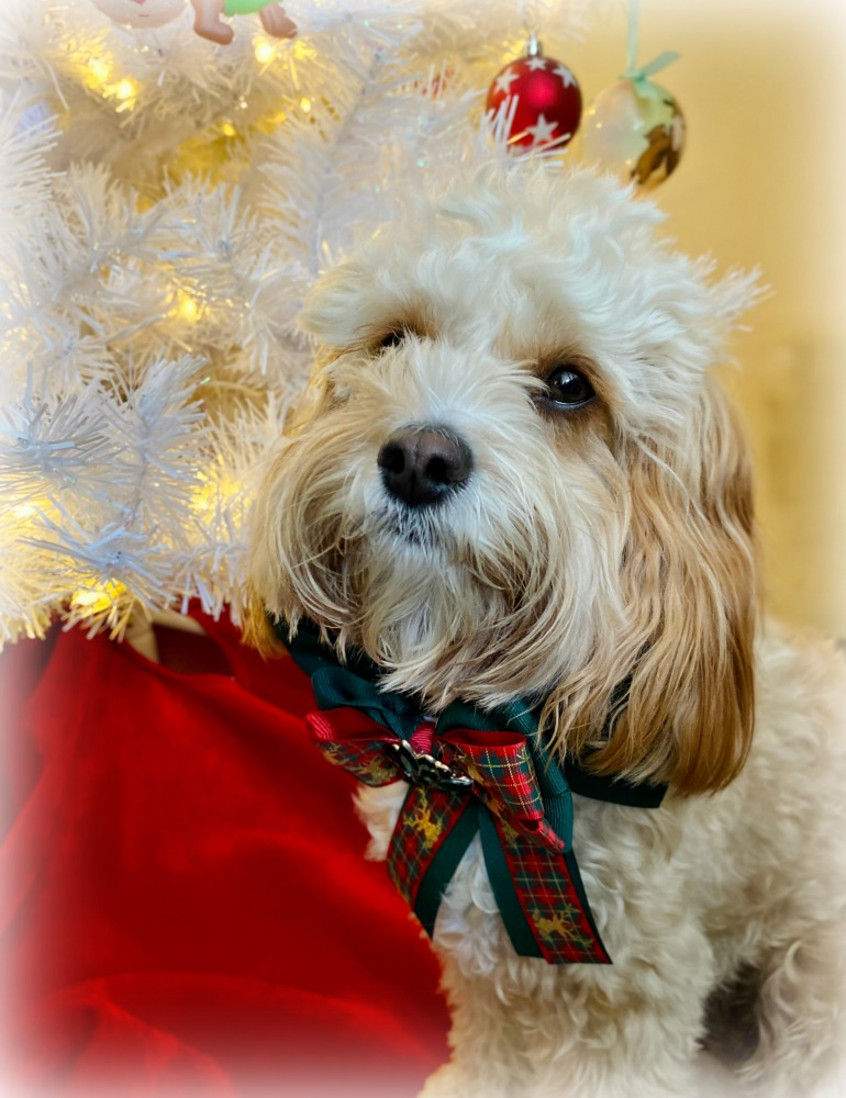 puppy wearing an ornate Christmas bow sitting next to a white christmas tree