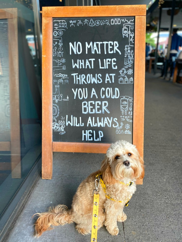cavoodle sitting next to blackboard with beer quote