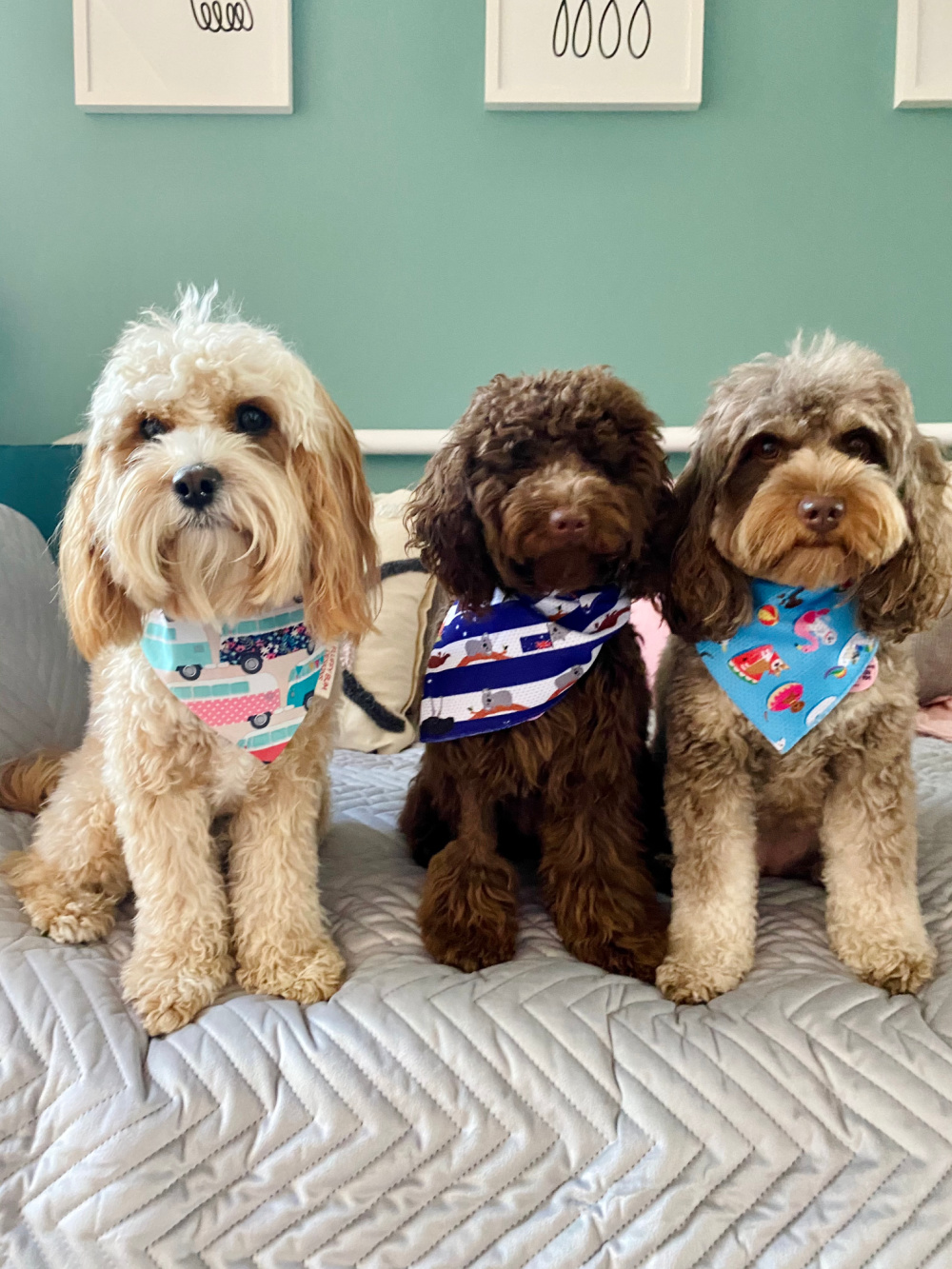 three cavoodles wearing bandanas