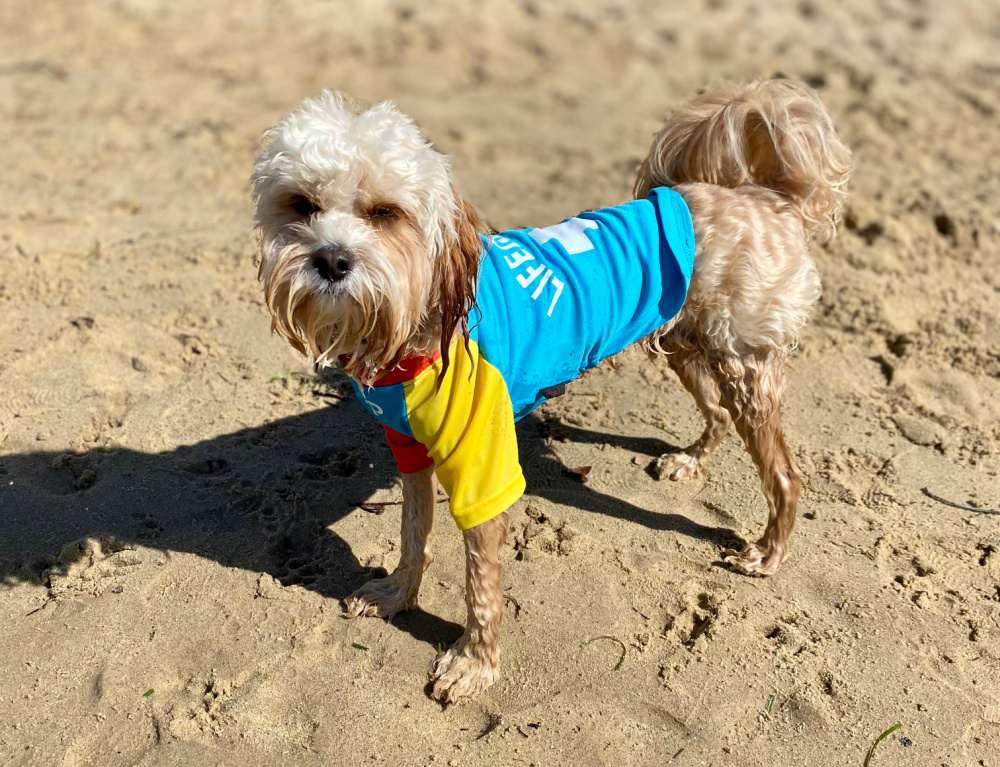 dog wearing lifeguard rashie at the beach