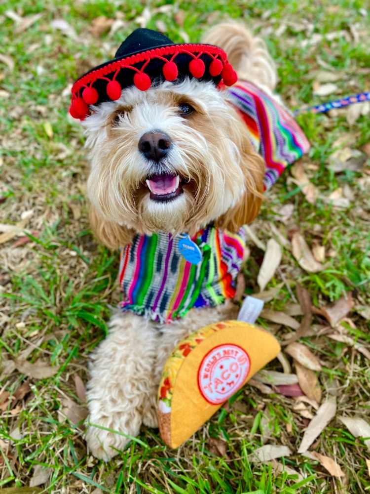 dog wearing sombrero and mexican outfit