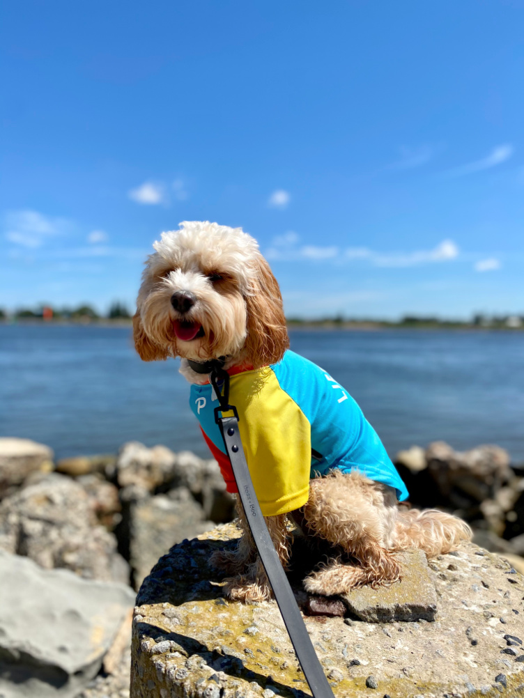 cavoodle sitting on rocks with ocean in background