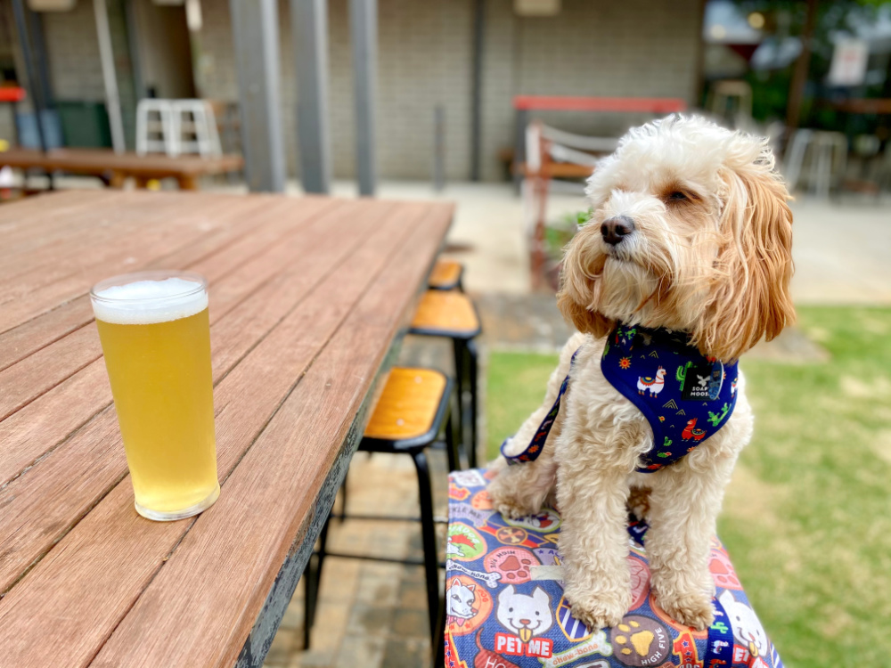 dog sitting on a stool looking at a pint of beer