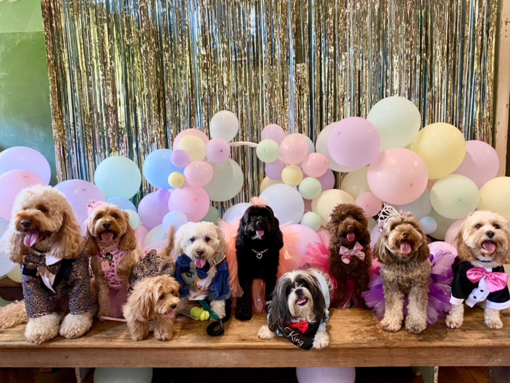 row of small dogs in prom costumes on high school stage