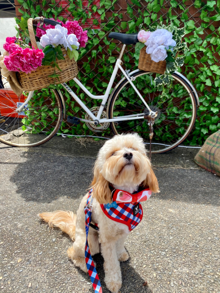 dog in front of old fashioned bike and flowers