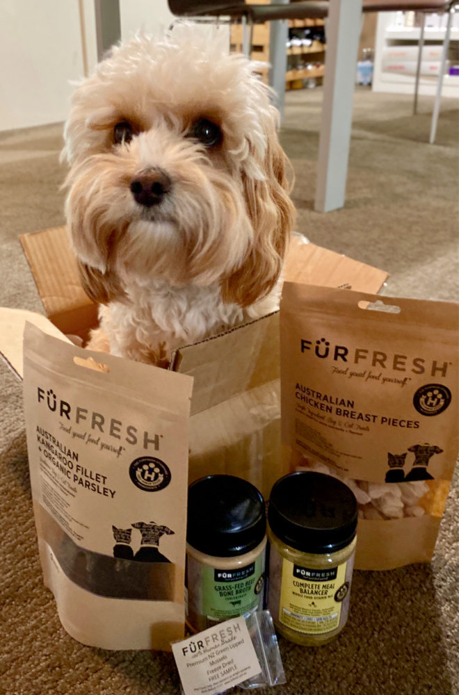 cavoodle sitting in furfresh box