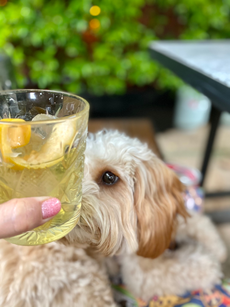 cavoodle sniffing glass of gin and tonic